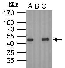 Anti-Oct4 antibody [GT486] used in Immunoprecipitation (IP). GTX627419