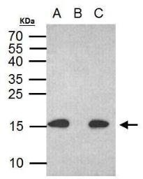 Anti-Histone H2A.XS139ph (phospho Ser139) antibody [GT2311] used in Immunoprecipitation (IP). GTX628789