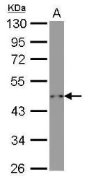 Anti-beta Actin antibody [GT5512] used in Western Blot (WB). GTX629630