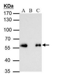 Anti-DDDDK tag antibody [GT231] used in Immunoprecipitation (IP). GTX629631