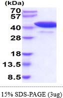 Mouse Cyclophilin 40 protein, His tag (active). GTX66953-pro