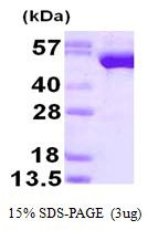 Human Glutathione Reductase protein, His tag (active). GTX67013-pro