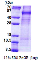 Human Cyclin I protein, His tag. GTX68215-pro