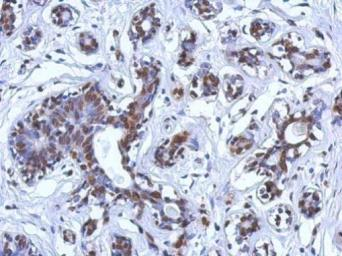 Anti-BRCA1 antibody [8F7] used in IHC (Paraffin sections) (IHC-P). GTX70113