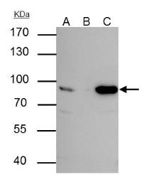 Anti-Nuclear Matrix Protein p84 antibody [5E10] used in Immunoprecipitation (IP). GTX70220