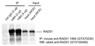 Anti-Rad51 antibody [14B4] used in Immunoprecipitation (IP). GTX70230