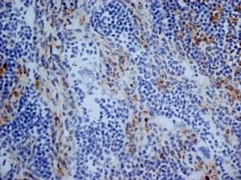 Anti-CD13 antibody [R3-63] used in IHC (Frozen sections) (IHC-Fr). GTX75927