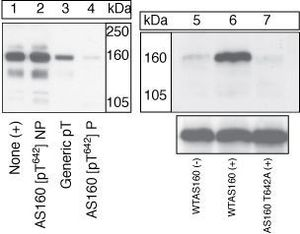 Anti-AS160 / TBC1D4 (phospho Thr642) antibody used in Western Blot (WB). GTX76675