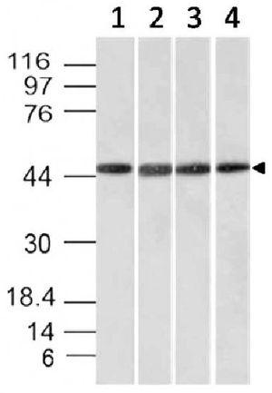 EMI1 antibody [EMI1/1176]