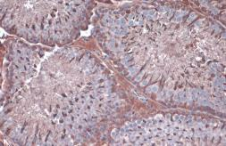 Anti-GAPDH antibody used in IHC (Paraffin sections) (IHC-P). GTX100118