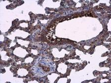 Anti-AGR3 antibody used in IHC (Paraffin sections) (IHC-P). GTX100582