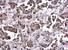 Anti-PTEN antibody used in IHC (Paraffin sections) (IHC-P). GTX101025