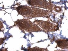 Anti-EIF3D antibody used in IHC (Paraffin sections) (IHC-P). GTX101424