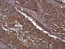 Anti-MCL1 antibody used in IHC (Paraffin sections) (IHC-P). GTX102026