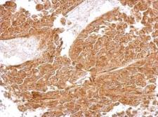 Anti-MRPS5 antibody used in IHC (Paraffin sections) (IHC-P). GTX103930