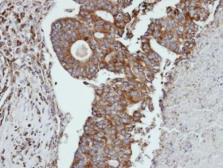 Anti-Cathepsin S antibody used in IHC (Paraffin sections) (IHC-P). GTX103988