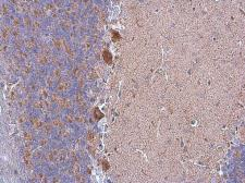 Anti-Grp75 antibody used in IHC (Paraffin sections) (IHC-P). GTX104407