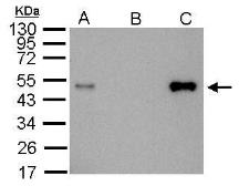 Anti-LDB1 antibody [N2C3] used in Immunoprecipitation (IP). GTX104531