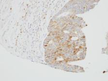 Anti-SUOX antibody [N1C1] used in IHC (Paraffin sections) (IHC-P). GTX105902