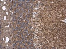 Anti-Tau antibody used in IHC (Paraffin sections) (IHC-P). GTX112981