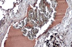 Anti-HRG antibody used in IHC (Paraffin sections) (IHC-P). GTX131514