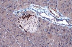 Anti-Somatostatin antibody used in IHC (Paraffin sections) (IHC-P). GTX133119