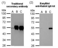 EasyBlot anti Rabbit IgG (HRP). GTX221666-01