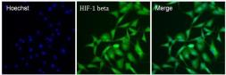 Anti-HIF1 beta antibody [2B10] used in Immunocytochemistry/ Immunofluorescence (ICC/IF). GTX22771