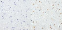 Anti-GATA3 antibody [1A12-1D9] used in IHC (Paraffin sections) (IHC-P). GTX30600