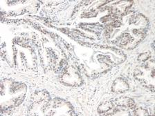 Anti-CCL21 antibody used in IHC (Paraffin sections) (IHC-P). GTX31167