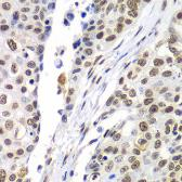 Anti-SEPT7 antibody used in IHC (Paraffin sections) (IHC-P). GTX32981