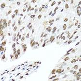 Anti-hnRNP R antibody used in IHC (Paraffin sections) (IHC-P). GTX33244