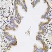 Anti-SPR antibody used in IHC (Paraffin sections) (IHC-P). GTX33517