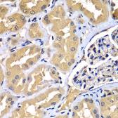 Anti-WIPI2 antibody used in IHC (Paraffin sections) (IHC-P). GTX33584