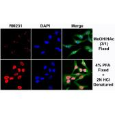 Anti-5-Methylcytosine / 5-mC antibody [RM231] used in Immunocytochemistry/ Immunofluorescence (ICC/IF). GTX33606