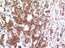Anti-GSK3 beta antibody [2C6] used in IHC (Paraffin sections) (IHC-P). GTX33981