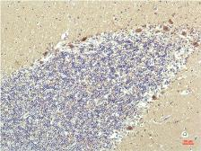 Anti-PPAR delta antibody [2F9] used in IHC (Paraffin sections) (IHC-P). GTX34133