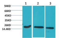 Anti-Caspase 3 antibody [5E1] used in Western Blot (WB). GTX34164