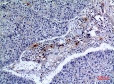 Anti-CD300f antibody used in IHC (Paraffin sections) (IHC-P). GTX34218