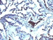 Anti-EAPII antibody [TDP2/1258] used in IHC (Paraffin sections) (IHC-P). GTX34678