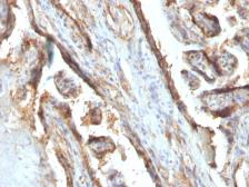 Anti-Galectin 13 antibody [PP13/1161] used in IHC (Paraffin sections) (IHC-P). GTX34747
