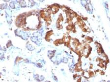 Anti-TNF alpha antibody [TNFA/1172] used in IHC (Paraffin sections) (IHC-P). GTX35131
