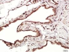 Anti-MMRN1 antibody used in IHC (Paraffin sections) (IHC-P). GTX52272
