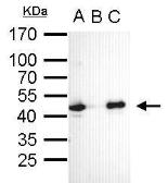 Anti-Oct4 antibody [GT735] used in Immunoprecipitation (IP). GTX627423