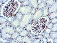 Anti-CD34 antibody [QBEND-10] (ready-to-use) used in IHC (Paraffin sections) (IHC-P). GTX73657