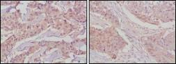 Anti-GSK3 beta antibody [3D10] used in IHC (Paraffin sections) (IHC-P). GTX83315