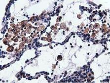 Anti-VWA5A antibody [3D6] used in IHC (Paraffin sections) (IHC-P). GTX83424