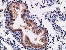 Anti-CD80 antibody [2B11] used in IHC (Paraffin sections) (IHC-P). GTX84701
