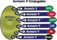 Annexin V-FITC Apoptosis Detection Kit. GTX85591
