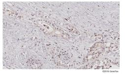 Anti-TET1 antibody [N3C1] used in IHC (Paraffin sections) (IHC-P). GTX124207